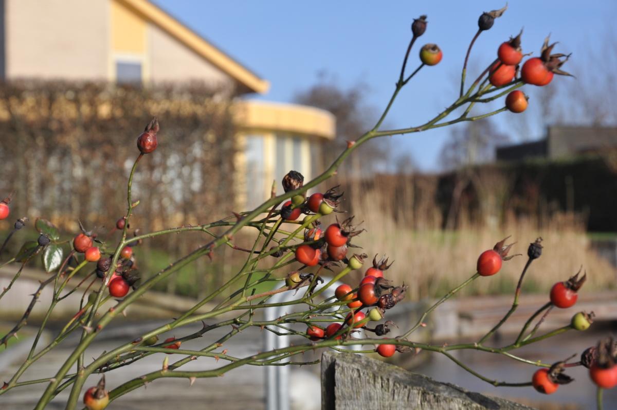 Wilde roos in de tuin bij de steiger van vakantiehuis aan de friese meren in Friesland