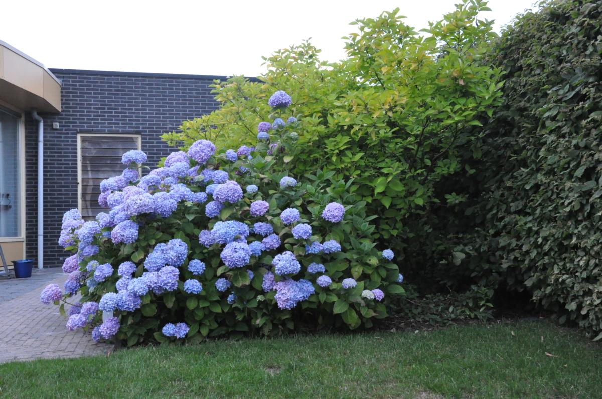 Hortensia in de tuin vakantiehuis Aquaholic aan het water in Friesland